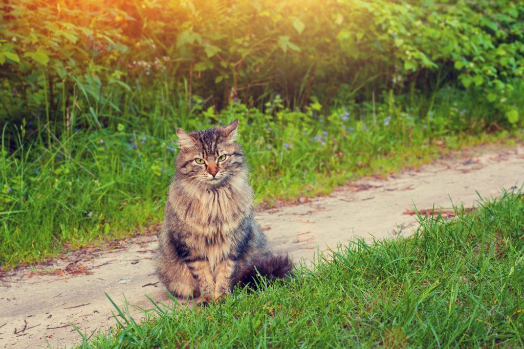Lost outdoor cat